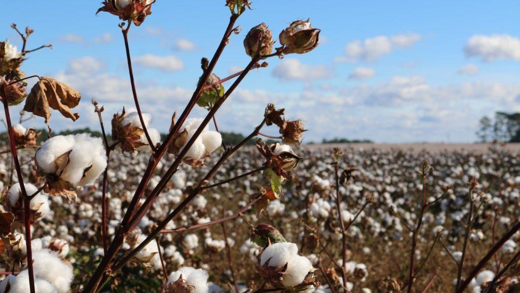 綿畑の様子